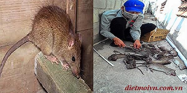 Công ty diệt chuột uy tín Đại Hải