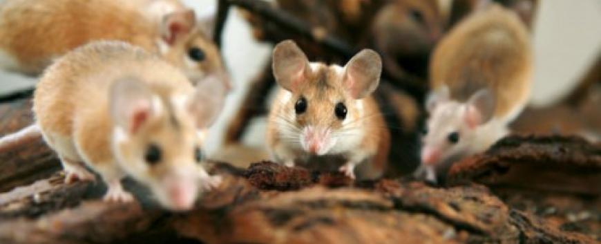 Dịch vụ diệt Chuột tại Hà Nam