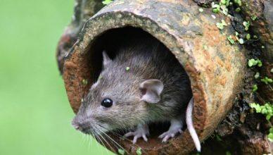 Dịch vụ diệt Chuột tại Ninh Bình